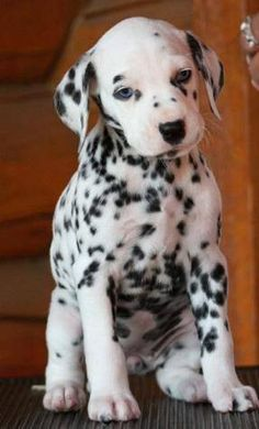 Dalmations are so pretty but I never see them anymore  Dalmations