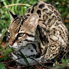 Kitty loaf - Ocelot style. From Big Cat Rescue.