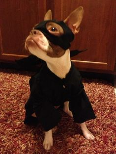 Boston Terrier   (Zorro perhaps) The Association accepted this candidate as an auxiliary member. Definitely will be useful in searches.