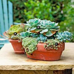 This trio of echeverias in a pair of mismatched terra-cotta pots creates a stunning centerpiece on this stone slab. The more than 100 echeveria species and cultivars from which to choose means it's easy to create unique groupings of these easy-care succulents. Clump size of these spreaders increases over time. If the plants become too crowded in the container, divide and replant them.  A.	 Echeveria 'Golden Glow' -- 1  B.	 Echeveria elegans -- 1  C.	 Echeveria prolifica -- 2