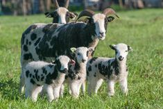 Jacob Sheep, Sheep Breeds, Lilac Color, Lambs, Animals Beautiful, Grey And White, North America, Goats, Cow