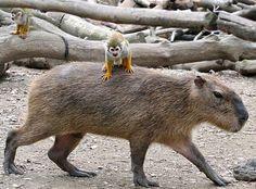 monkey on a capy. ADORBS.