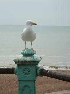 Seagul in Brighton