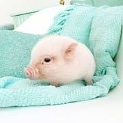 Miniature Pet Pigs – Why Are They Such Popular Pets? – Pets and Animals Cute Little Animals, Cute Funny Animals, Little Pigs, Tier Wolf, Cute Piggies, Pet Pigs, Cute Animal Pictures, Cute Creatures, Animals Beautiful