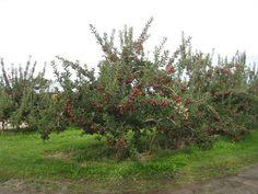 Malus domestica - Apple - Zone 4