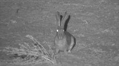 Scrub Hare at Idube tonight - May 10 2016 - Torches, Hare, Wildlife, Bright, Eyes, Animals, Animales, Animaux, Bunny