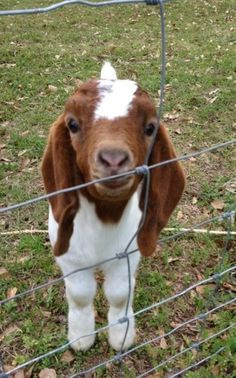 I love baby animals! This baby goat is baby Animals Animals Cute Creatures, Beautiful Creatures, Animals Beautiful, Cute Baby Animals, Animals And Pets, Funny Animals, Wild Animals, Boer Goats, Cute Goats