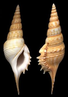 Tibia powisii (Petit, 1842). Interesting to visit the back button on this page.   Shows evolution of the evolving shape of the shell over a century.