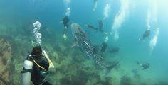 Un bébé requin baleine tourne autour des plongeurs