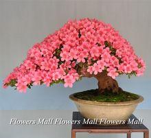 Árbol de júpiter semillas 50 unids/pack envío gratis Bonsai en maceta de flores rojas para Indorr oficina fácil planta mejor regalo(China (Mainland))