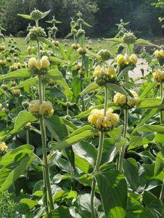 Russel-Brandkraut (Phlomis russeliana)