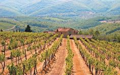 How Wild Boars are Causing Chaos in Tuscany's Vineyards - In the hills between Florence and Siena, wild boars are running amok among the vines : telegraph uk - 23 Jan 2015 Tuscany Vineyard, Taste Restaurant, Wine Education, Wild Boar, Wine Time, Sparkling Wine, Wine Tasting, Wines, Pets