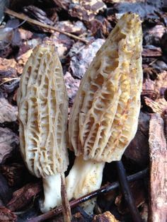 Morel Mushrooms | Borage
