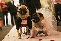 Os pugs já são uma graça por natureza, de noivinhos então, ficam lindos!!!