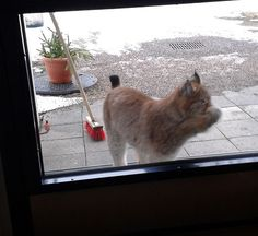 """""""Let me In!!"""" Hungry Lynx was scratching the door in Finland"""