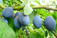 England Food Fruit | English Damsons