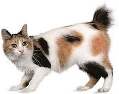 Now this is a beautiful Japanese Bobtail cat, this almost looks like Kipper! Japanese Bobtail, Japanese Cat, Gato Bobtail, American Bobtail Cat, Frida Art, Cat Reference, World Cat, Exotic Cats, Cat Wallpaper