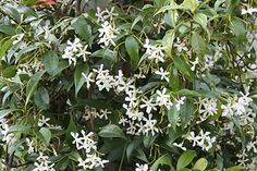 Trachelospermum jasminoides. Image: RHS Herbarium - scented, plant spring or autumn in a sunny spot, ever green, doesnt need pruning, provide wires to climb through.