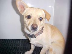 TREVOR - ID#A566556 My name is TREVOR. I am a neutered male, tan Chihuahua - Smooth Coated. The shelter staff think I am about 5 years old. I have been at the shelter since Jul 16, 2012.