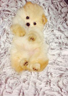 BABY POMERANIAN! Too precious