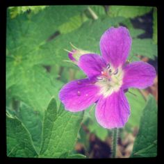 Geranium (cranesbills) - The genus name is derived from the Greek γέρανος (géranos) or γερανός (geranós) 'crane'. The English name 'cranesbill' derives from the appearance of the fruit capsule of some of the species. Species in the Geranium genus have a distinctive mechanism for seed dispersal. This consists of a beak-like column which springs open when ripe and casts the seeds some distance.//Kakost //Storchschnäbel o. Geranien