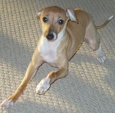 italian greyhound | Italian Greyhound Information and Pictures, Italian Greyhounds
