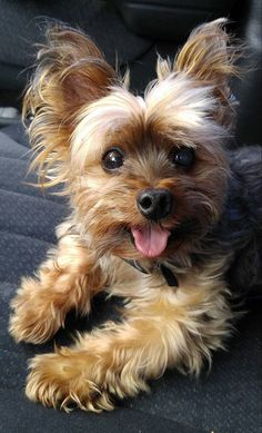 """Learn more relevant information on """"Yorkshire terrier dogs"""". Yorkies, Yorkie Puppy, Yorky Terrier, Yorshire Terrier, Yorkie Haircuts, Yorkshire Terrier Puppies, Lap Dogs, Cute Dogs And Puppies, Cute Baby Animals"""