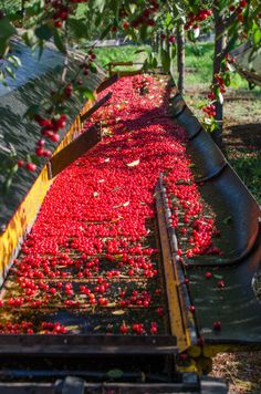 How Tart Cherries Are Grown in Michigan: And Why You Should Look for Them Now