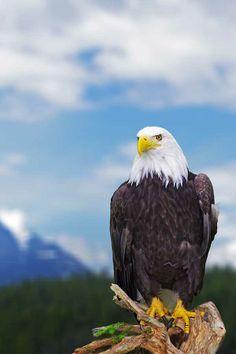 A Bald Eagle in Sitka, Alaska | Photo by Reinhard Pantke