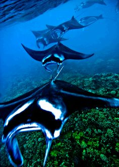 MantaTrain ~ Reef Manta in Mating Formation in Maui   STOP EATING SHARK'S FIN SOUP