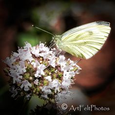 https://flic.kr/p/Pu9jGR | 5665 brimstone butterfly