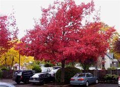 Autumn leaves.  (Eugene, OR)