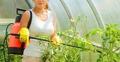 Folosind acest fertilizator în perioada de înflorire a roșiilor veți avea o recoltă bogată garantat. Rețineți! - Fasingur Plant