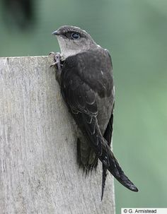 Chimney Swift commonly nests in chimneys in eastern North America, and migrates in large flocks to northwestern South America for the winter.