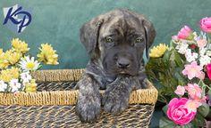 Mastiff Puppies on Pin...
