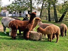 Martha visits an upstate New York farm for a behind-the-scenes look at the making of luxurious alpaca yarn.
