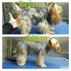 -repinned- Before & after Yorkie grooming