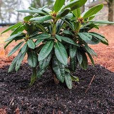 These Southgate Rhododendrons from Southern Living were selected for our Southern heat and are perfect for part to full shade landscapes. Shade Landscaping, Garden Landscaping, Zone 6 Plants, Rhododendron Plant, Dwarf Shrubs, Foundation Planting, Woodland Garden, Flowering Shrubs, Spring Blooms