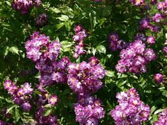 veilchenblau rose | Ramblerrose 'Veilchenblau' - Rosa 'Veilchenblau'