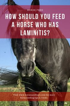 In this article, we discuss the correct types of feed and hay for horses with laminitis. Read on to learn more on what to feed a horse with laminitis. Horse Anatomy, Horse Treats, Horse Feed, Horse Tips, Interesting Reads, Horse Care, Horse Riding, Yummy Treats, Equestrian