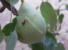 Pear crystal variety end of summer. Αχλάδια ποικιλία κρυστάλια, τέλος αυγούστου.