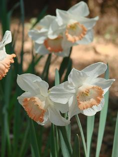Daffodil -- The sun is bright when I am with you, Respect, Sunshine, Unrequited love, Regard