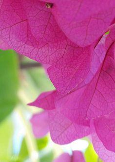 Plant colour Fuchia