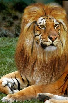 """A liger is the offspring of a lion & a tigress. It is bigger than either parent, 10', 12' in length, making it the biggest hybrid cat &, for many people, the most fascinating. Ligers vary in appearance depending on how the genes interact & on which subspecies of lion & tiger are bred together. In general, males grow sparse leonine manes & the facial ruff of a tiger. Males & females have spotted bellies & a striped back. They roar like lions & """"chuff"""" like tigers."""