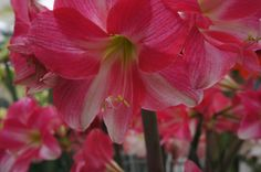 """Quote of the day: The miracle is not that we do this work, but that we are happy to do it.  """"Amaryllis Neon"""""""