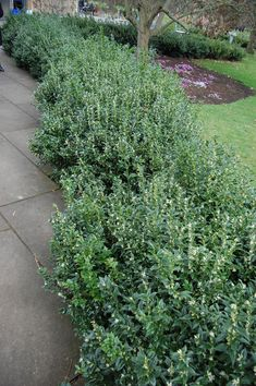 Sarcococca confusa as hedge. Tidy evergreen 60-80cm Strongly scented small white flowers in the depth of winter.