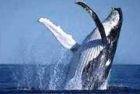 Tour Avistamiento de Ballenas  Es una actividad Ecoturística, donde las ballenas jorobadas llegan a nuestras costas ecuatorianas y nos ofrecen un magno espectáculo cada año para observarlas.