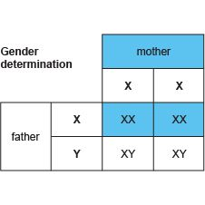 Genetic diagrams work the same as mono-hybridinheritancediagrams: showing the mothers and fathers and then the different out comes. Description from hannahhelpbiology.blogspot.com. I searched for this on bing.com/images