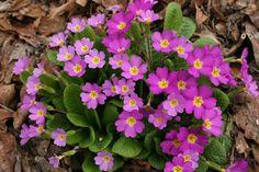 Primula vulgaris ssp. sibthorpii