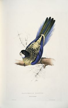 Lear, Edward, 1812-1888 / Illustrations of the family of Psittacidae, or parrots: the greater part of them species hitherto unfigured, containing forty-two lithographic plates, drawn from life, and on stone (1832)  Platycercus brownii. Brown's parrakeet